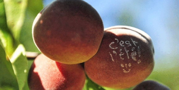 Les fruits de l'été - Hérault, le Languedoc © Régis Domergue